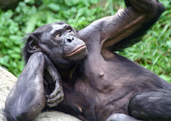 A bonobo monkey contemplates his sexual history